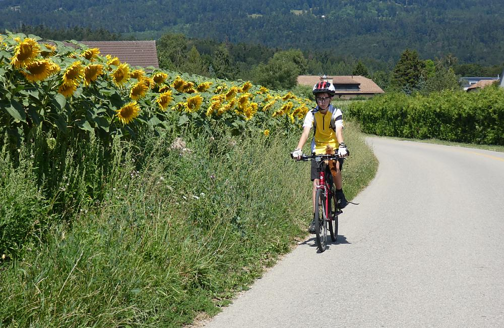Cycling past sunflowers on the last descent to Lake Geneva